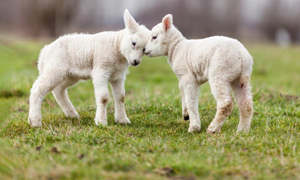 Image result for گوسفند