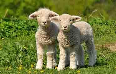کاهش استرس گوساله